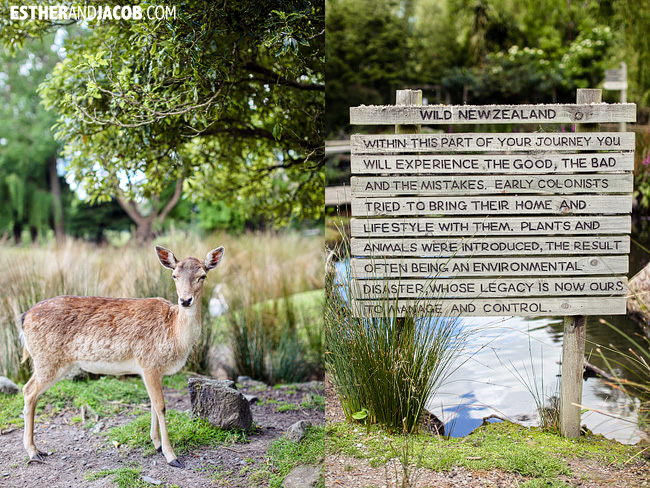fallow deer willowbank wildlife reserve christchurch new zealand | travel photos