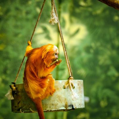 golden lion tamarin zoo atlanta