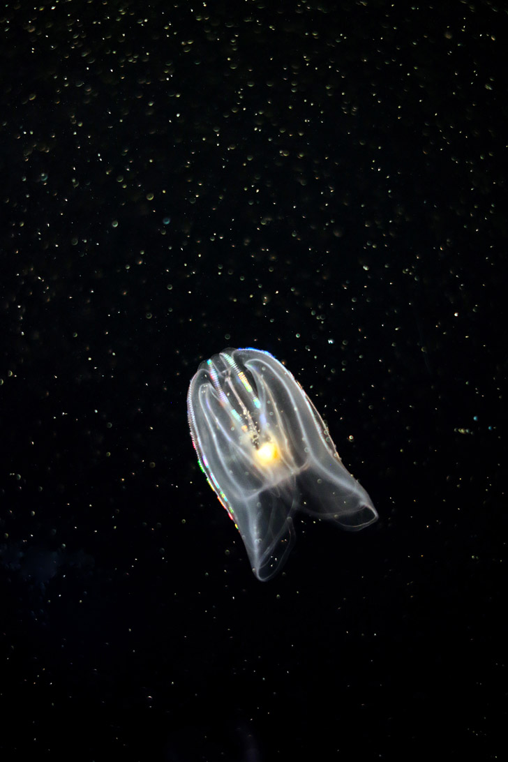 Self Illuminating Comb Jellyfish (ctenophora) at the Georgia Aquarium Atlanta // localadventurer.com