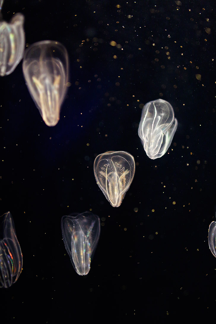 Neon Jellyfish at the GA Aquarium in Atlanta // localadventurer.com