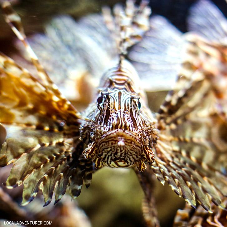 Georgia Aquarium Lionfish // localadventurer.com