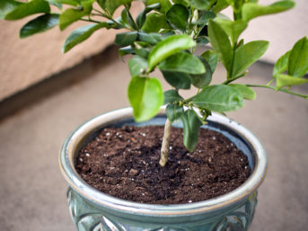 Citrus Tree: Dwarf Meyer Lemon Tree for my garden