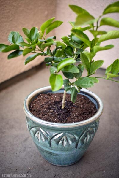 Citrus Tree: Dwarf Meyer Lemon Tree for my garden