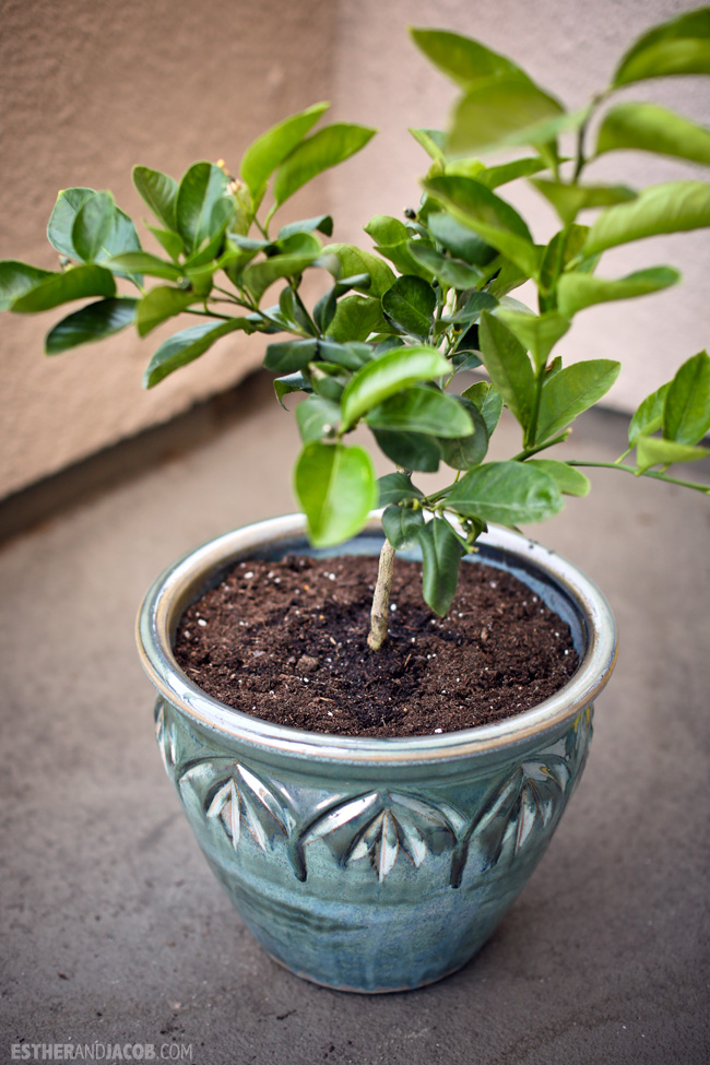 Urban Garden: Planting a lemon tree on our balcony. Dwarf Meyer Lemon Tree for my garden