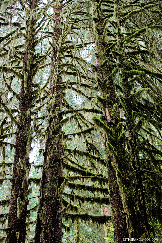 olympic national park moss trees. hoh rain forest. the olympic rainforest. hoh river rainforest. hoh rainforest washington. hiking olympic national park washington. olympia national park.