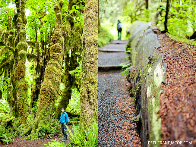 hall of mosses trees. rainforest washington. olympic national park pictures. trees in olympic rainforest. rainforest in us. hiking in olympic national park.