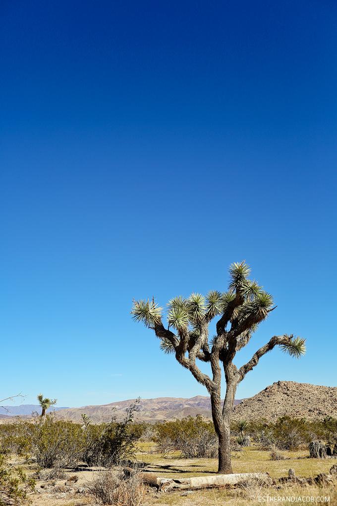 A photo of joshua trees at joshua tree national park california. Skull rock joshua tree np. joshua tree california. joshua tree park. the great outdoors.