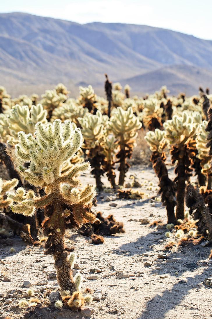 Cholla Cactus Garden Joshua Tree National Park CA (11 Amazing Things to Do in Joshua Tree National Park) // localadventurer.com