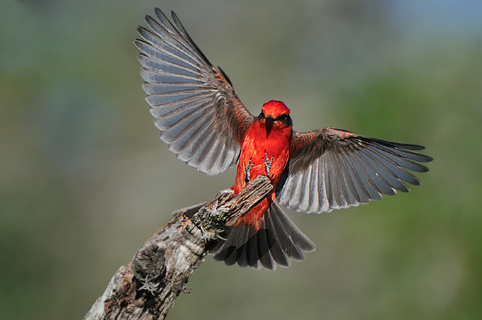vermillion flycatcher by jeff wendorff.