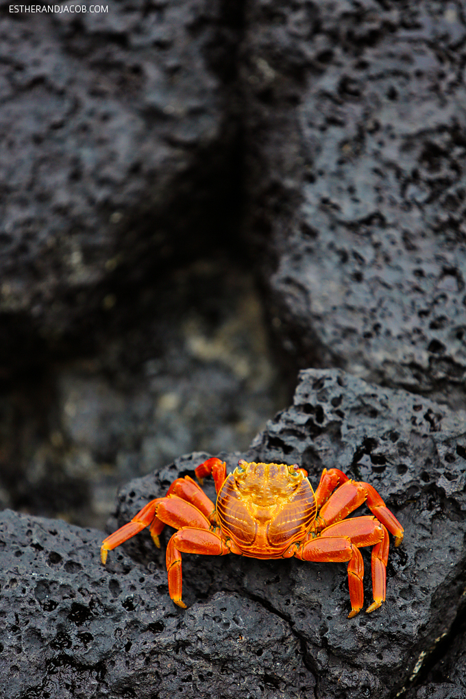 Sally Lightfoot Crab Galapagos Islands