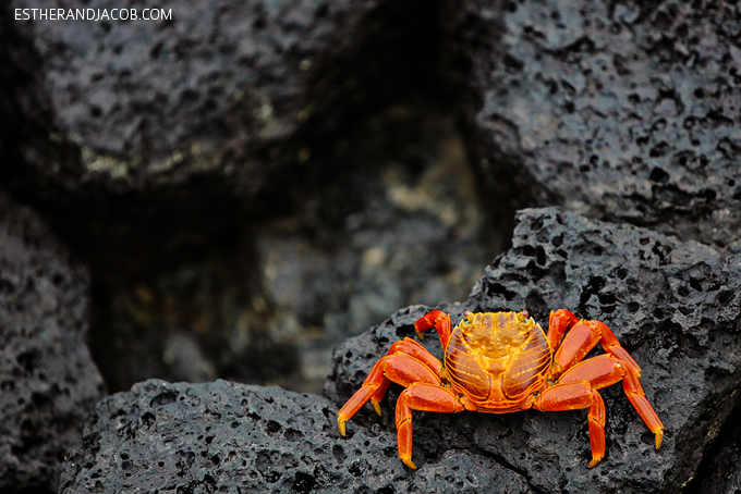 Photos of the beautiful sally lightfoot crab in the Galapagos Islands. They are also known as red rock crab, abuete negro, grapsus grapsus