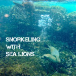 Snorkeling with Galapagos Sea Lions in Loberia Santa Cruz Island