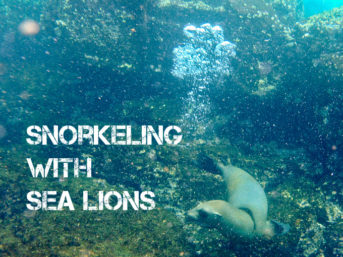 Snorkeling with sea lions in Loberia on Santa Cruz Island (Galapagos Islands). Photo of the Galapagos sea lions.
