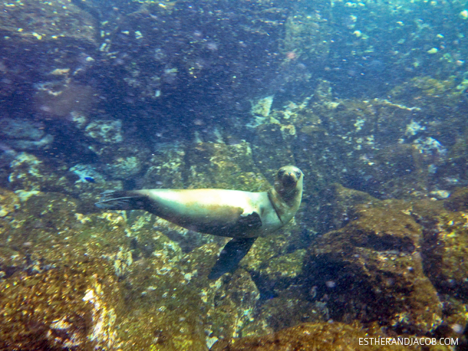 Photo of the Galapagos sea lions. Snorkeling with sea lions in Loberia on Santa Cruz Island. Galapagos Islands.