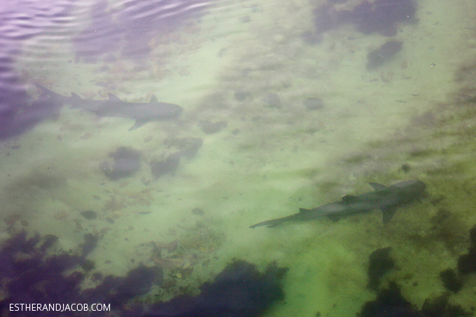 This is a photo of white tipped sharks in Canal de las Tintoreras. Shark Canal in Playa de Los Perros on Santa Cruz Island.
