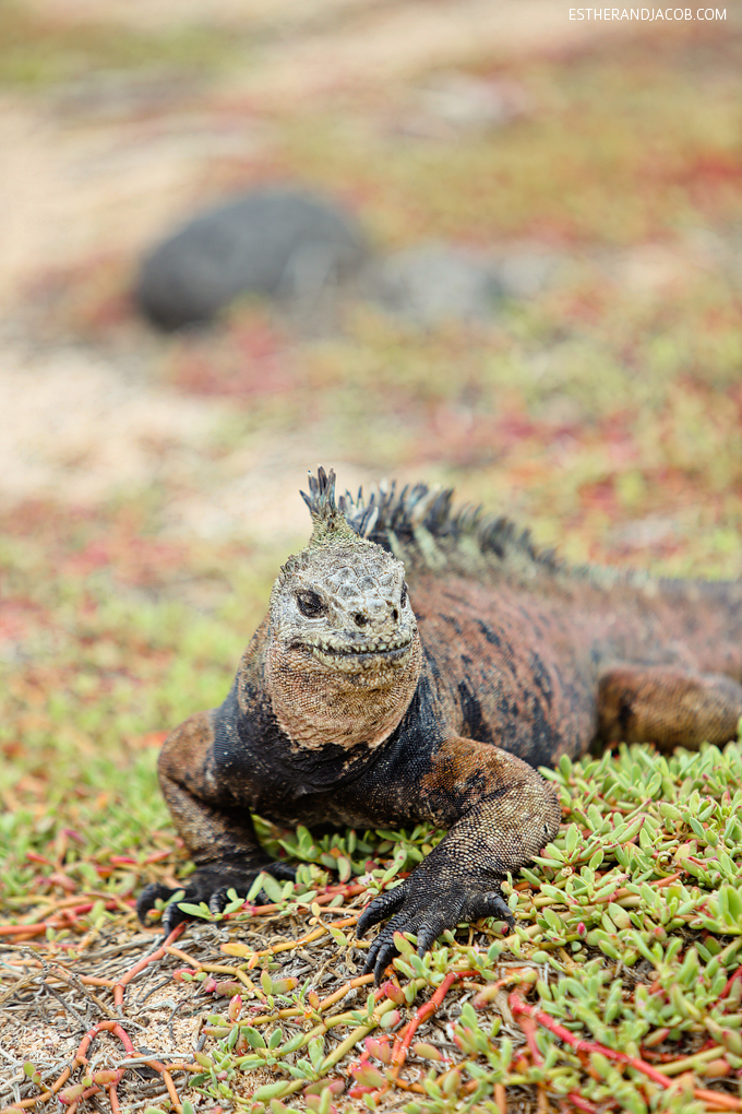 This is a photo of Galapagos marine iguanas at Playa de Los Perros on Santa Cruz Island