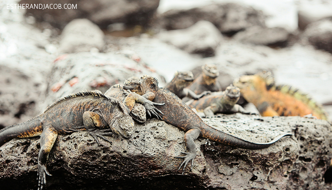 This is a photo of Galapagos marine iguanas at Playa de Los Perros on Santa Cruz Island.