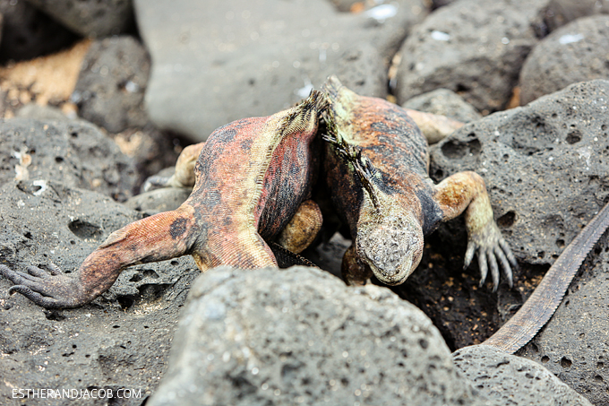 This is a photo of Galapagos male marine iguanas fighting at Playa de Los Perros.