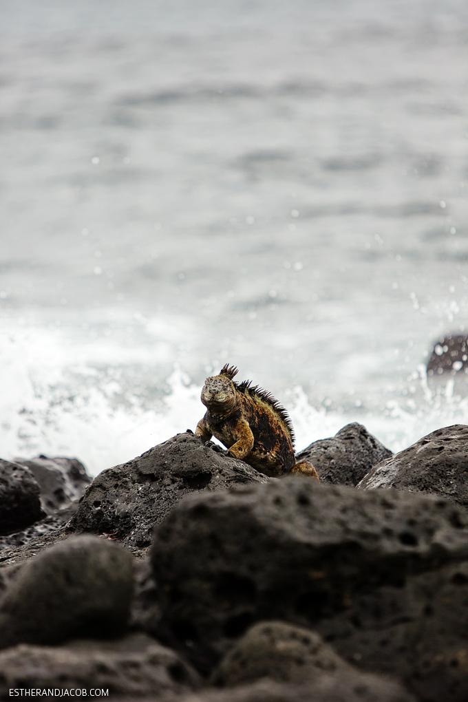 This is a photo of Galapagos marine iguanas at Playa de Los Perros on Santa Cruz Island.