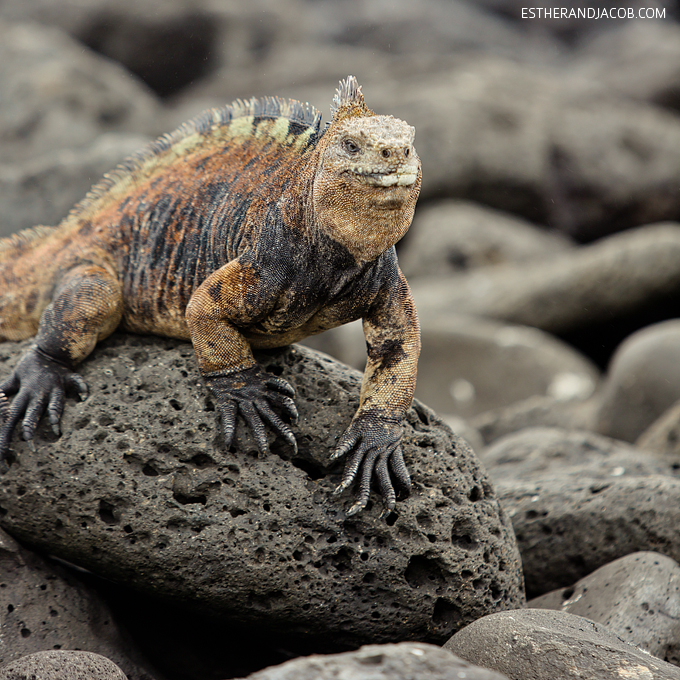 This is a photo of male Galapagos marine iguanas at Playa de Los Perros Santa Cruz Island.