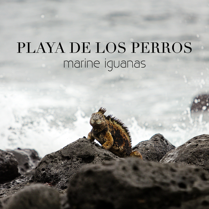 Galapagos Marine Iguanas and White Tip Sharks at Playa de Los Perros