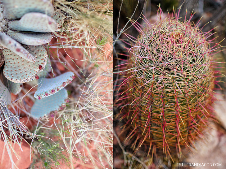 Red Rock Canyon Flora and Fauna | Beavertail Cactus and Barrel Cactus | Red Springs Loop or Calico Loop.