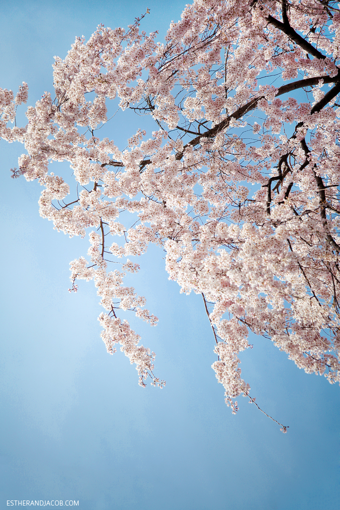 Photo of Japanese cherry blossom.