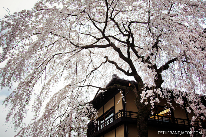 Photo of Japanese cherry blossom tree.
