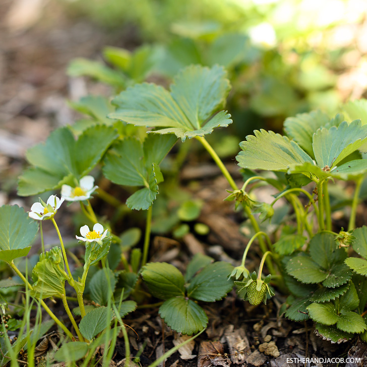 Strawberry Patch | Pictures of springtime | Why I love spring.