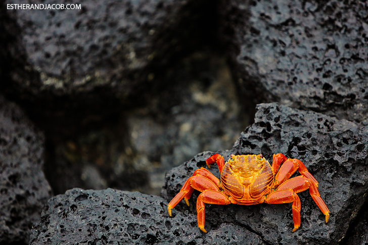Sally Lightfoot Crab by the Puerto Ayora Pier | Santa Cruz Galapagos Islands.