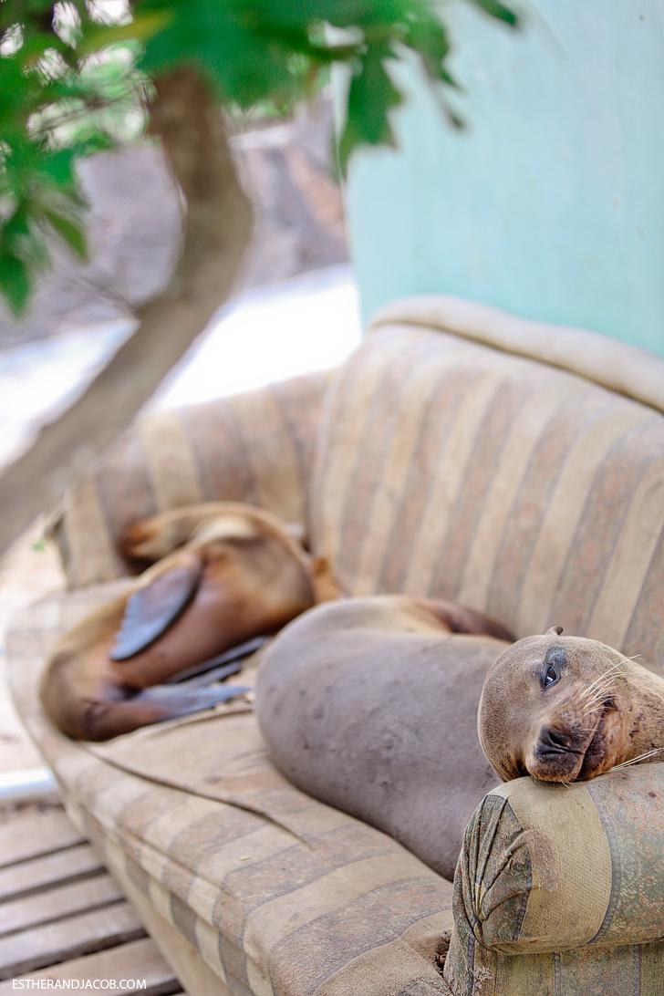 Isabela Island Galapagos Sea Lions.