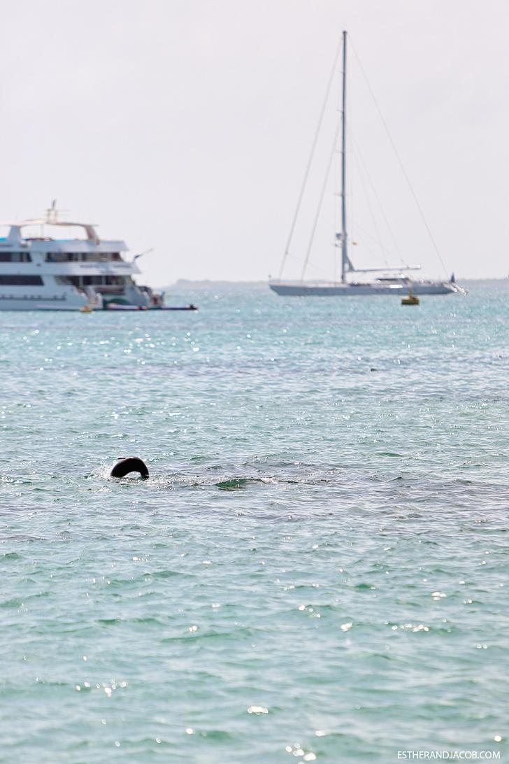 Isabela Island Galapagos Sea Lion.