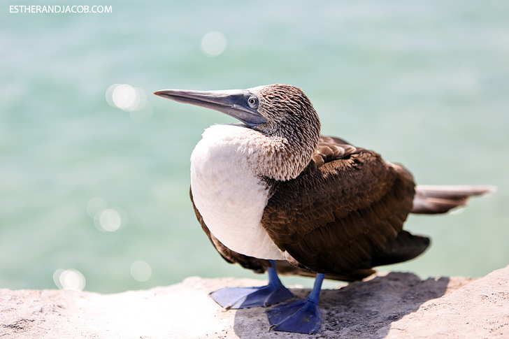Isabela Galapagos Island Animals | Blue Footed Booby Bird.