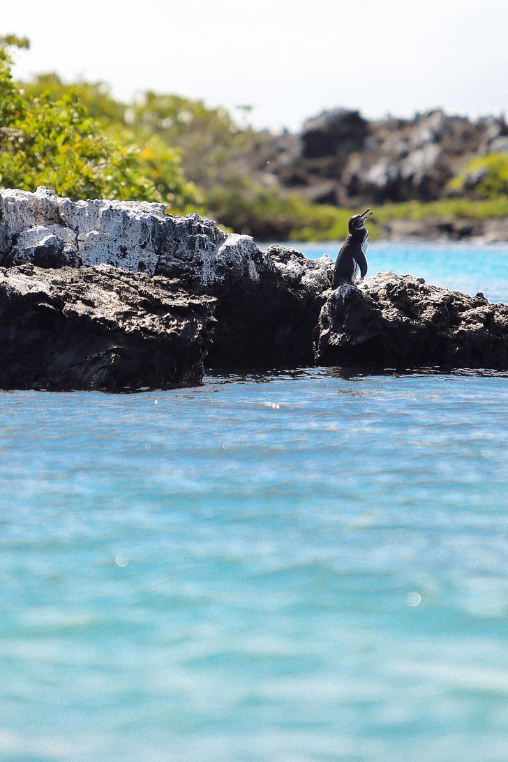 Galapagos Penguins | Galapagos Penguin Pictures.