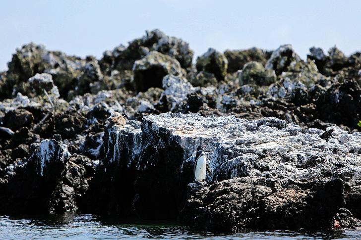 Galapagos Penguins (Spheniscus Mendiculus) | Galapagos Animals | Penguin Rock Puerto Villamil Isabela Galapagos Island.