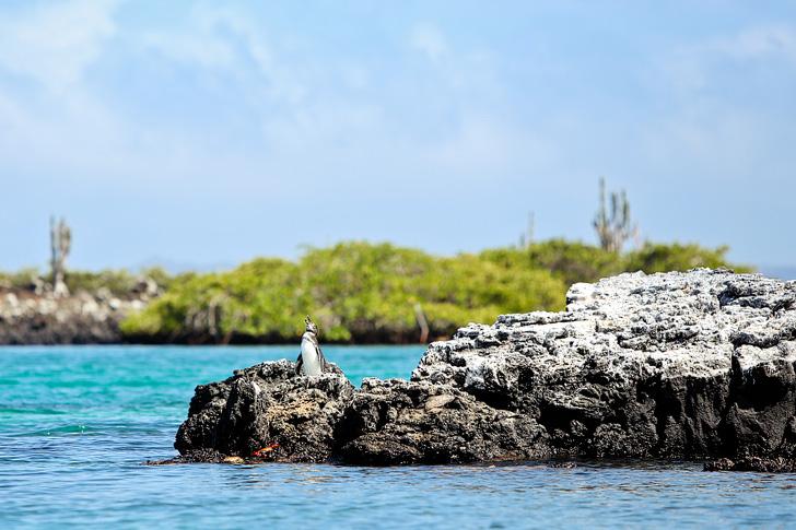 Galapagos Penguin Pictures (Spheniscus Mendiculus) | Galapagos Island Animals | Penguin Rock Puerto Villamil Isabela Island Galapagos.