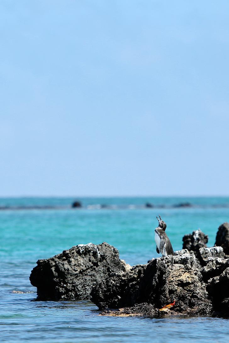 Teeny Tiny Galapagos Penguins | Puerto Villamil Isabela Galapagos