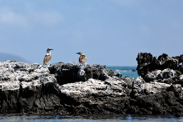 Blue Footed Booby Pictures | Galapagos Island Animals | Penguin Rock Puerto Villamil Isabela Island Galapagos.