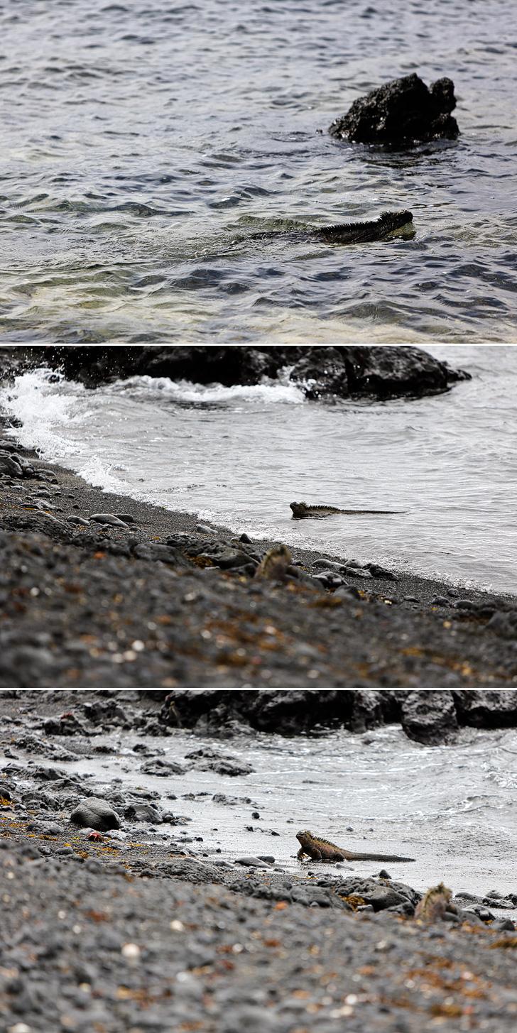 Galapagos Marine Iguanas | Galapagos Island Animals | Bay Tour of Isabela Island.