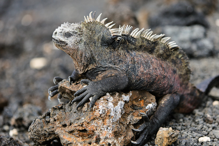 Galapagos Marine Iguana Colony | Galapagos Island Animals | Bay Tour of Isabela Island