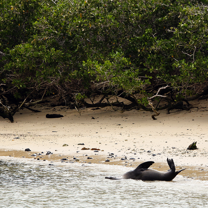 Galapagos Sea Lion breeding beach | Galapagos Island Animals.