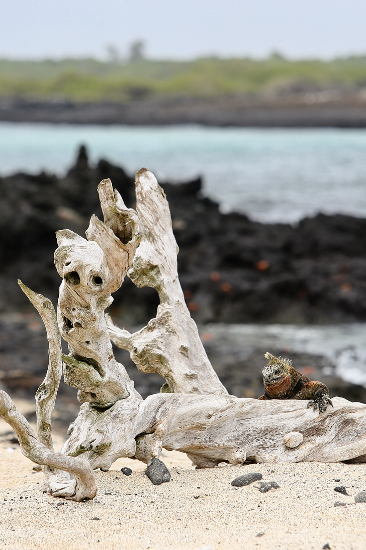 Galapagos Iguana Colony | Galapagos Island Animals | Bay Tour of Isabela Island.