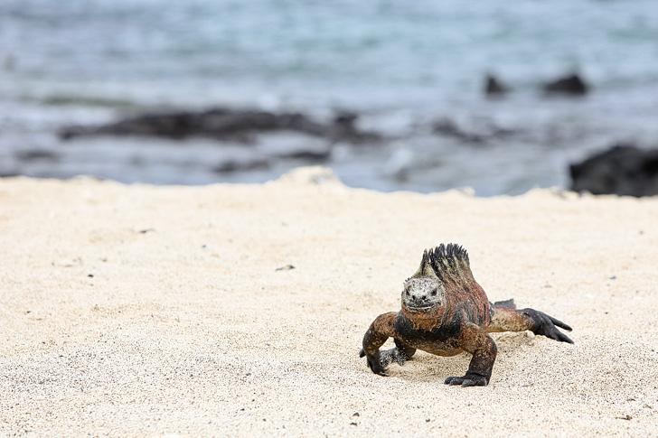 Galapagos Iguanas | Galapagos Island Animals | Bay Tour of Isabela Island.