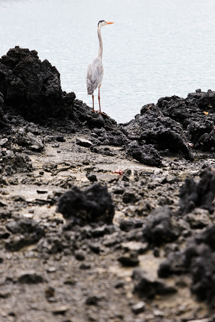 Great Blue Heron | Bay Tour of Isabela Island.