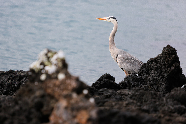 Great Blue Heron | Las Tintoreras | Bay Tour of Isabela Island.