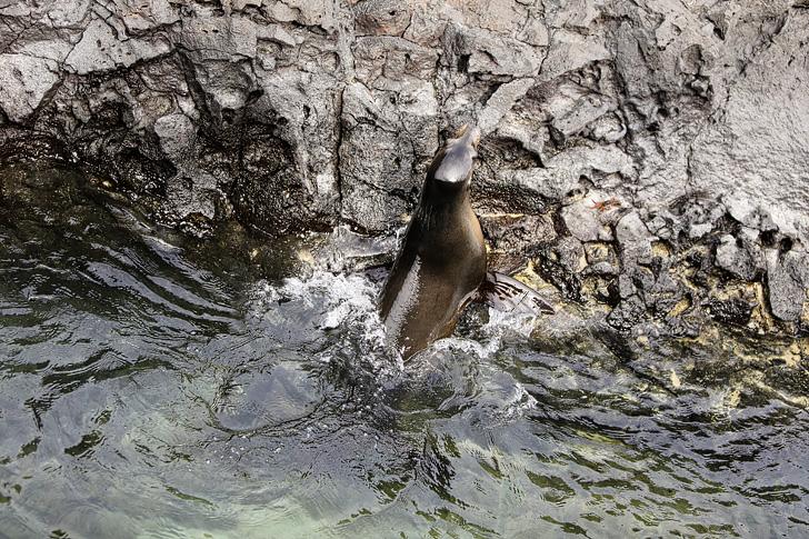 Galapagos sea lion swimming in Canales de tintoreras | Las Tintoreras | Isabela Island.