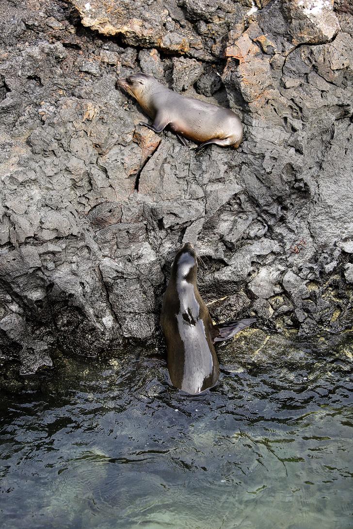 Galapagos sea lions swimming in Canales de tintoreras | Las Tintoreras | Isabela Island.