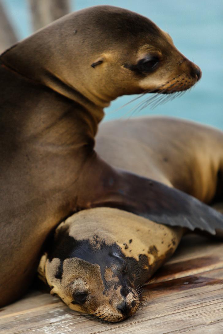 Galapagos Sea Lions at Las Tintoreras | Isabela Island.