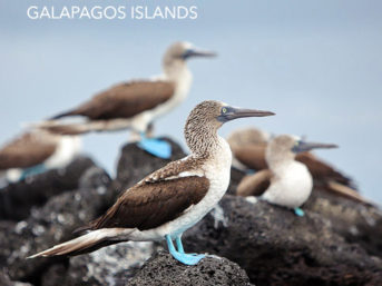 Blue Footed Booby Colony in The Wetlands Isabela Island.