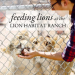 Lion Habitat Ranch Las Vegas | Local Adventurer #3